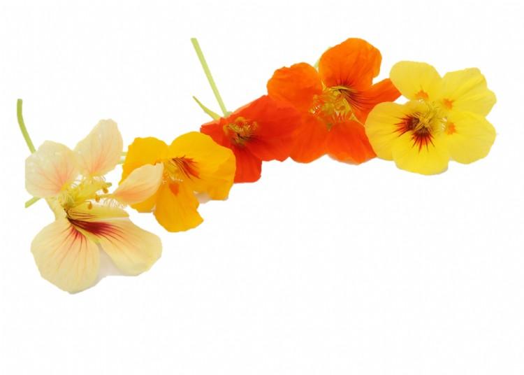 Oost-Indische kers bloemen