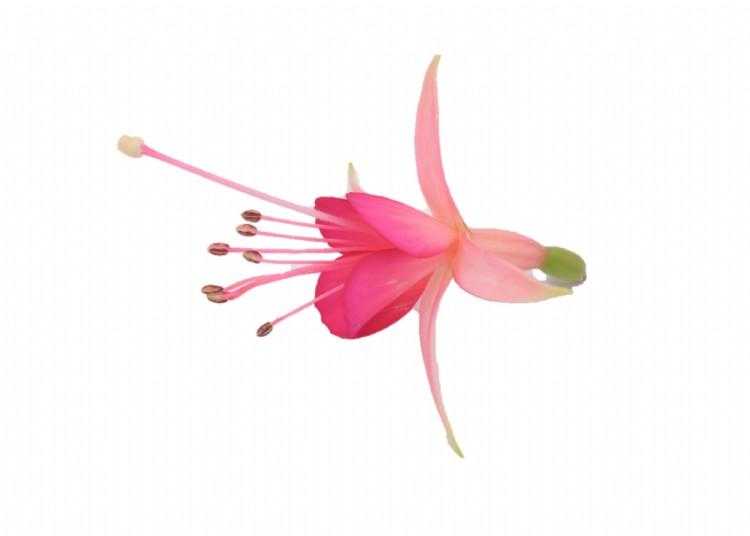 roze fuchsia