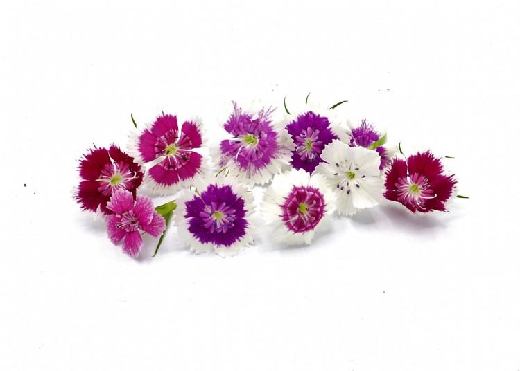 Duizendschoon { Dianthus barbatus }